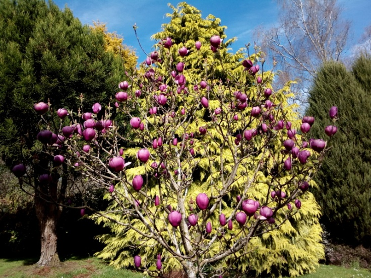 mg_magnolia_03