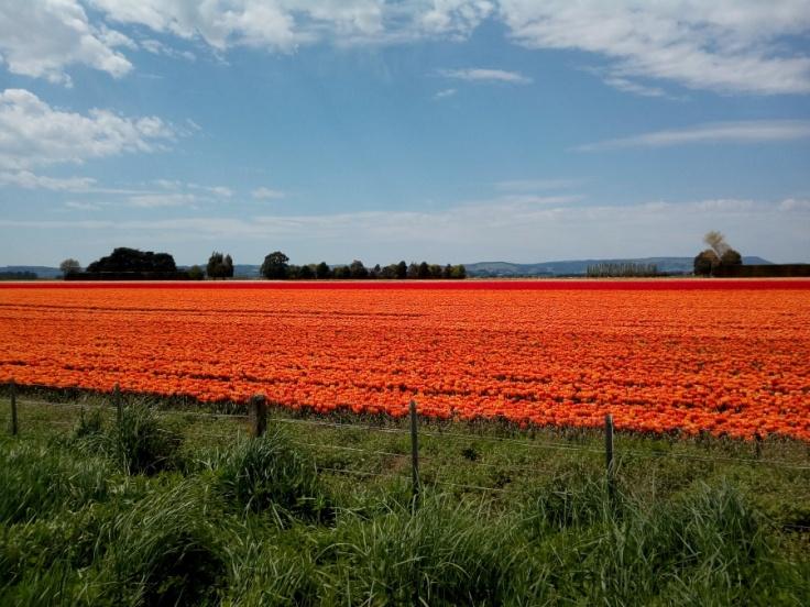 orange_ocean_tulips_01