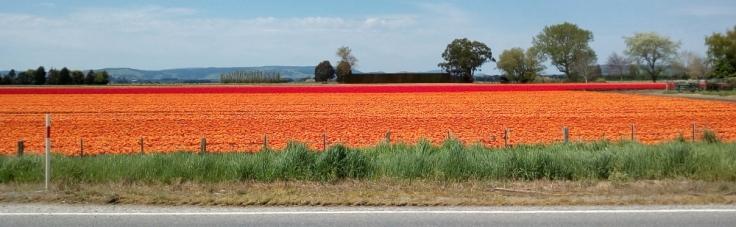 orange_ocean_tulips_04