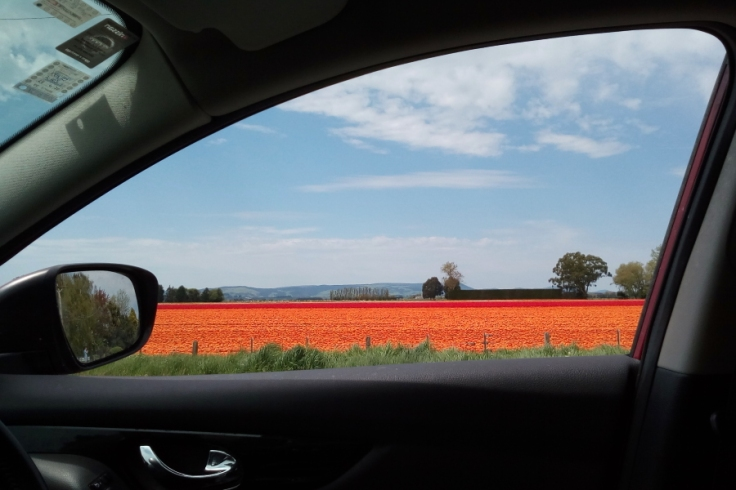 orange_ocean_tulips_05