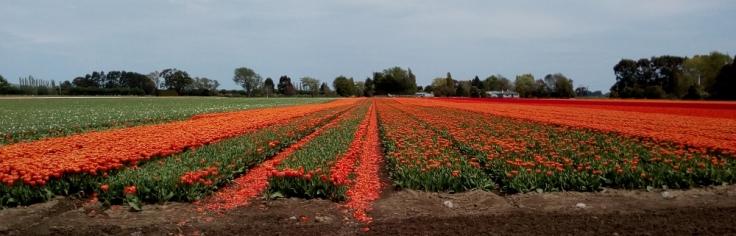 tulips_edendale_side_01