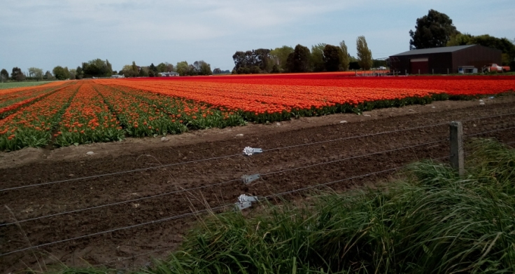tulips_edendale_side_02