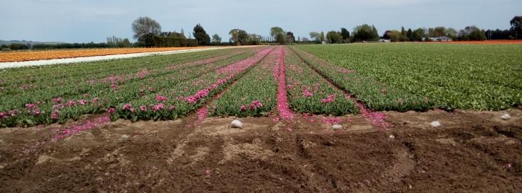 tulips_edendale_side_03