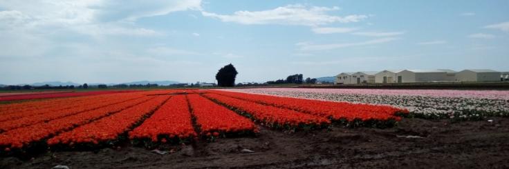 tulips_site01_01