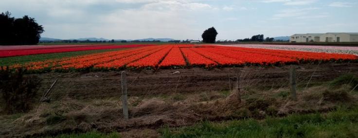 tulips_site01_02