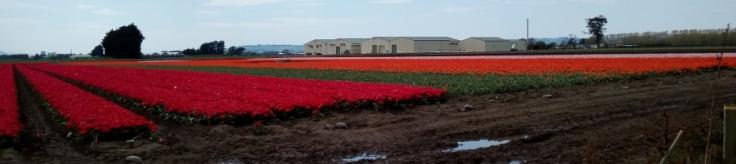 tulips_site01_03