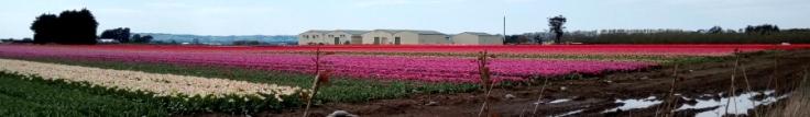 tulips_site01_07