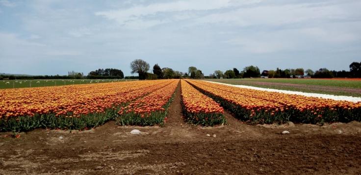 edendale_tulips_farend_03