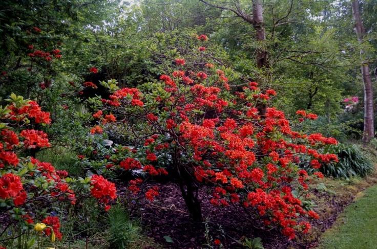 red_orange_azaleas_01