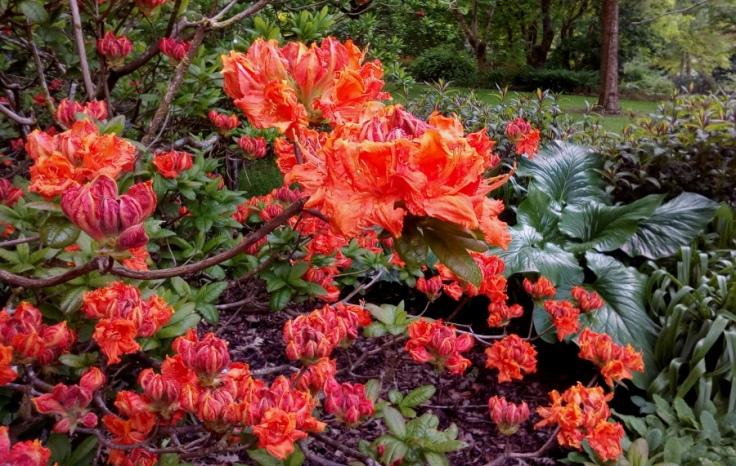 red_orange_azaleas_02