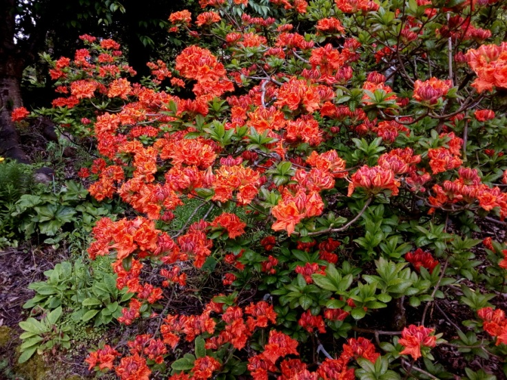 red_orange_azaleas_03
