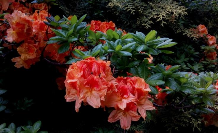 red_orange_azaleas_04