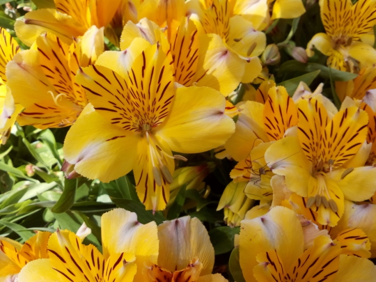 astroemeria_yellow