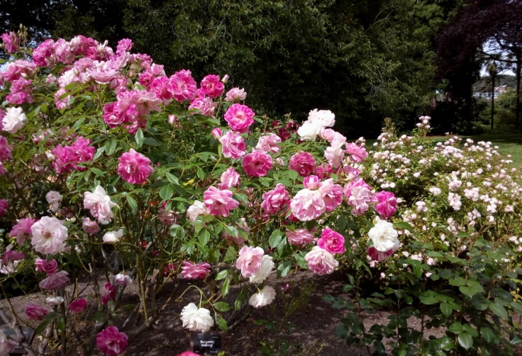 pink_roses_02