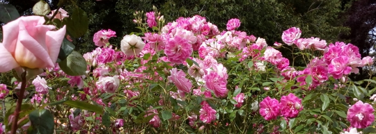 pink_roses_03