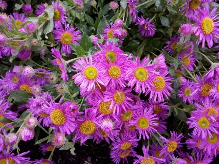 daisy_flowers_01_1000w