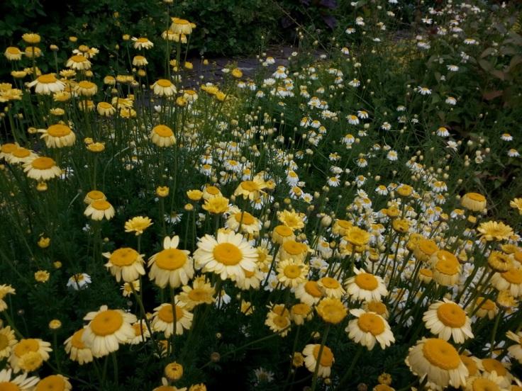daisy_flowers_02_1000w