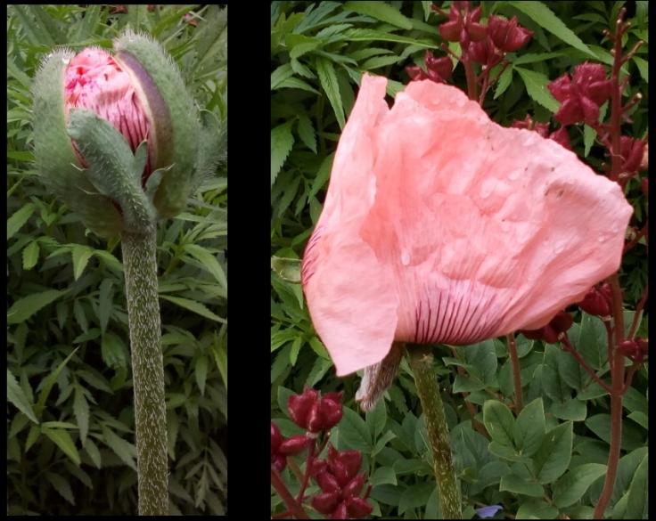 pink_poppy_bud_flower