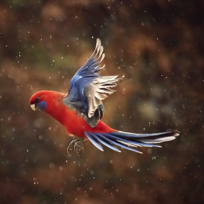 red_and_blue_parrot