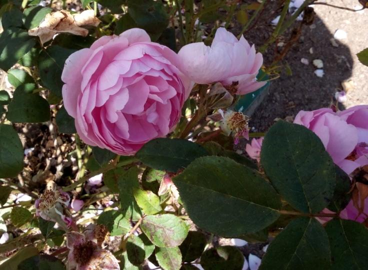 skylark_rose_02