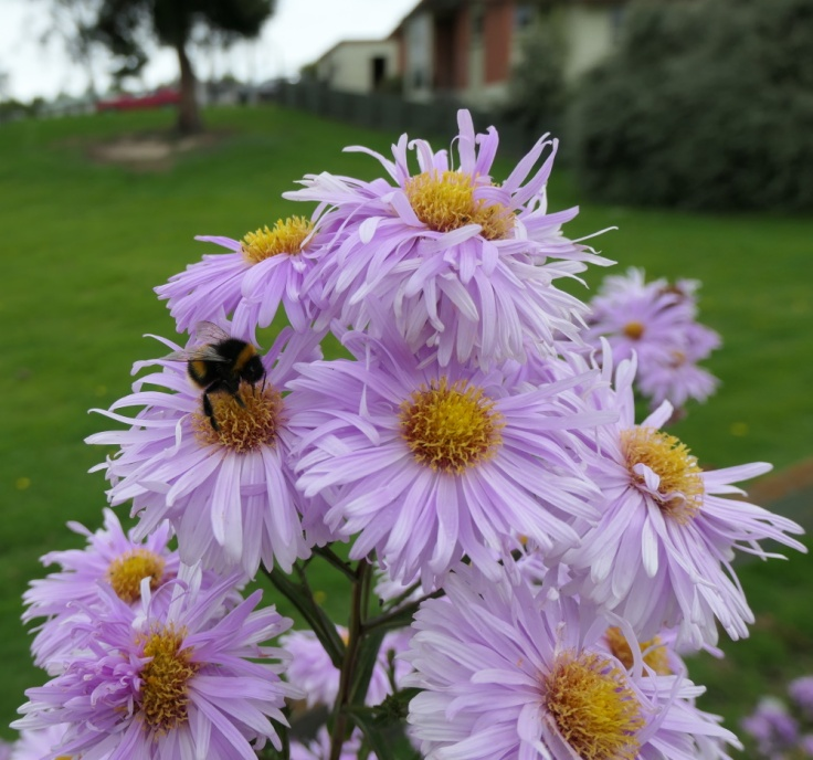 asters_tapanui_01