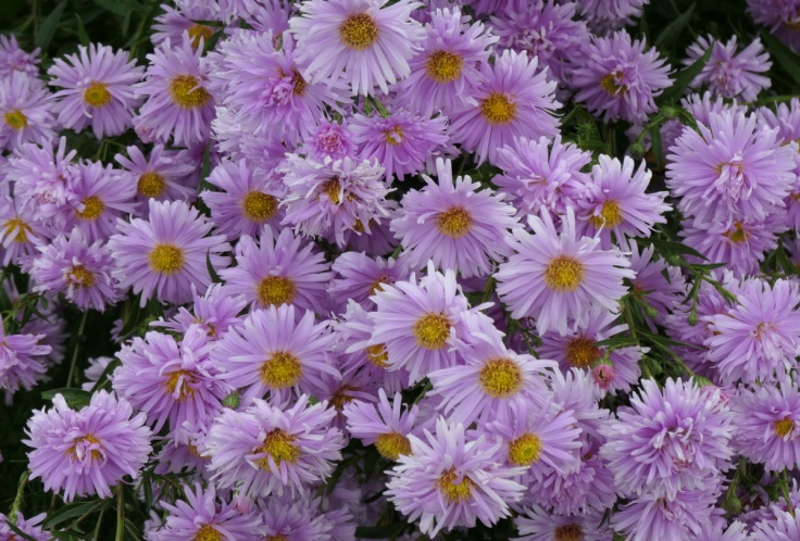 asters_tapanui_02