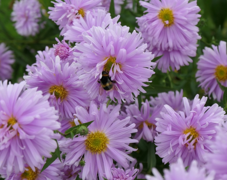 asters_tapanui_03