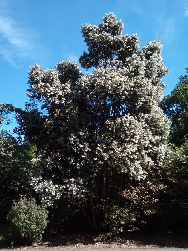 Eucryphia_cordifolia_inv