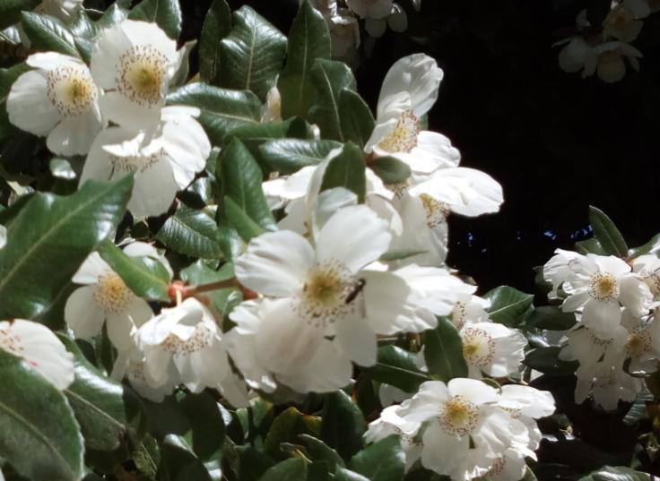 eucryphia_cordifolia_inv_02