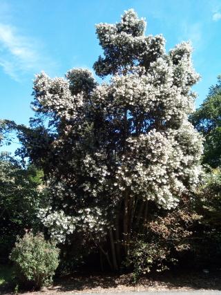 eucryphia_cordifolia_inv_03_320w