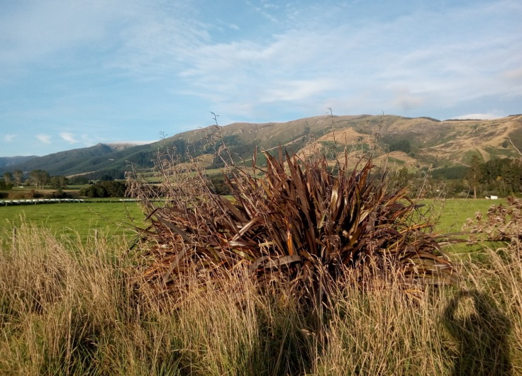 tapanui_flax_blue_mountains_04_1200w