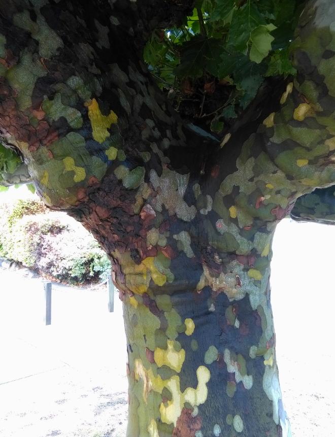 plane_tree_alex_03