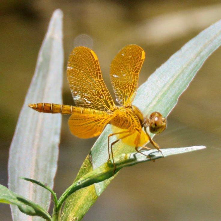 tucson_dragonfly_bogan_01