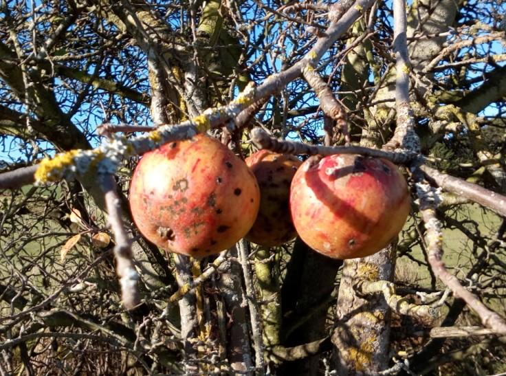 apple_tree_01