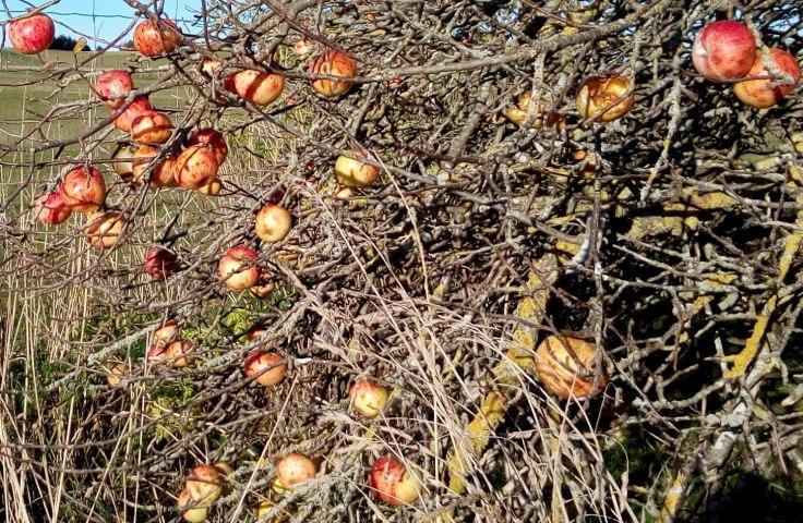 apples_silvereye+1500w