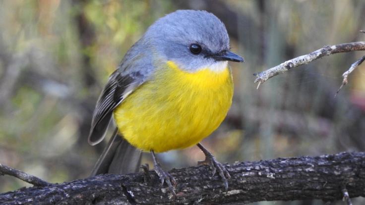eastern_yellow_robin
