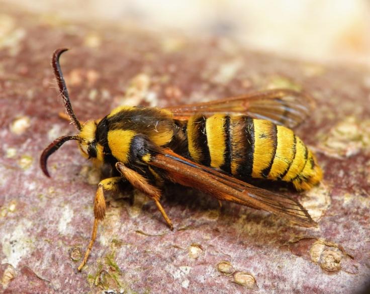 hornet_moth