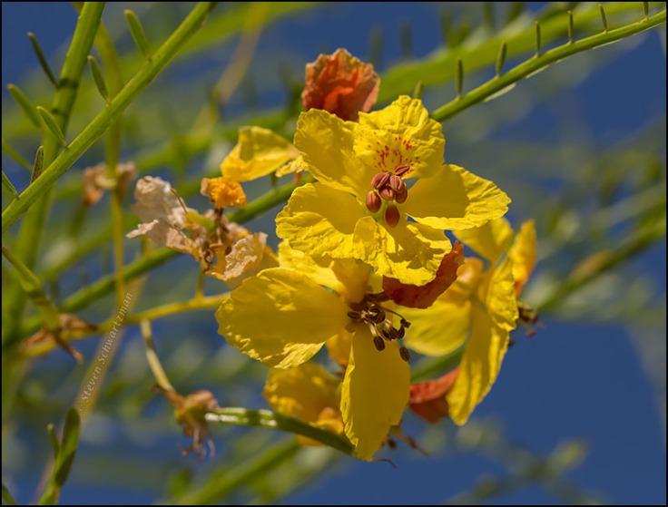 paloverde-flowers-close-4767