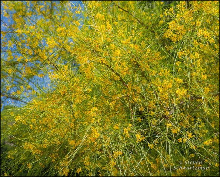 paloverde-tree-flowering-7251