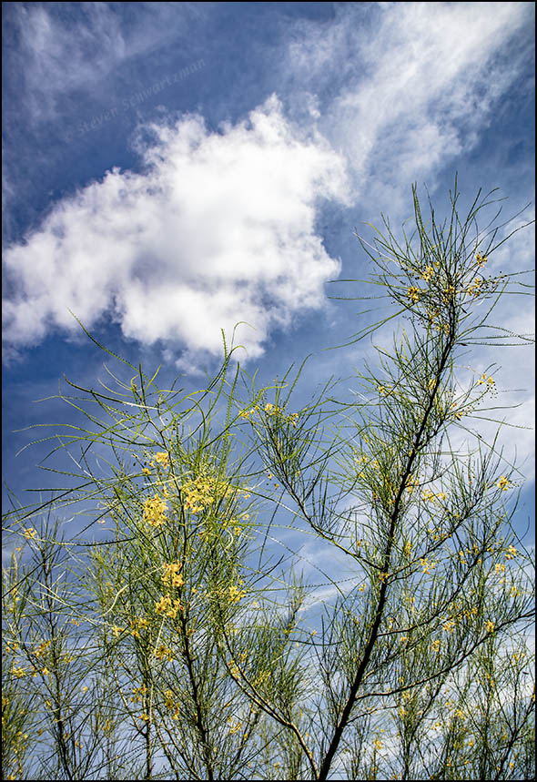 paloverde-tree-flowering-with-white-clouds-4118
