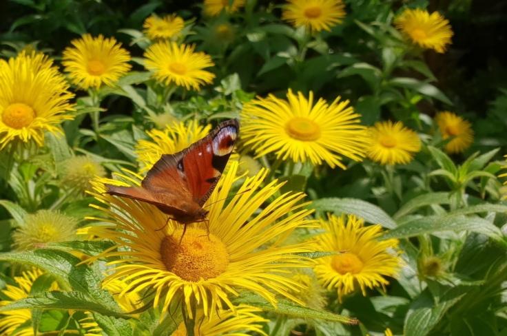 peacock_butterfly_inula_hookeri