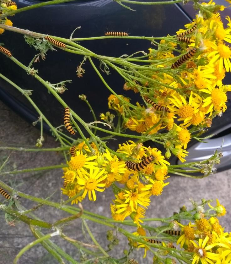 ragwort_caterpillars_doncaster